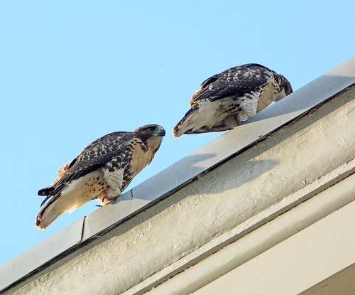 Cathedral Hawk Fledglings - 3336
