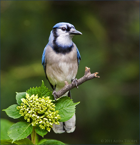 bluejay on a stick by Alida's Photos
