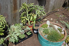 Succulents for sale & our alpines