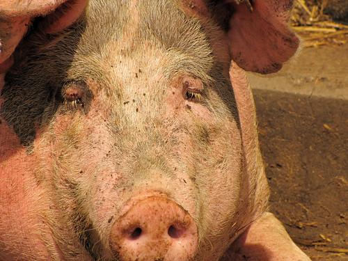 XXL-Schweine