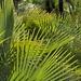 Palm leaves in the sun - Hojas de palma en el sol; al sur de Zapotitlán Palmas, Región Mixtecan, Oaxaca, Mexico por Lon&Queta