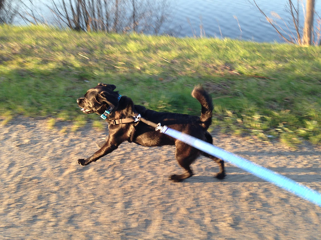 Finnea the puggle, running at Back Cove