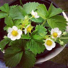 die erdbeere blüht :)