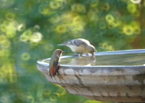 Allen's Hummingbird at the Birdbath