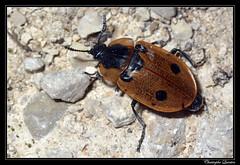 Dendroxena quadripunctata