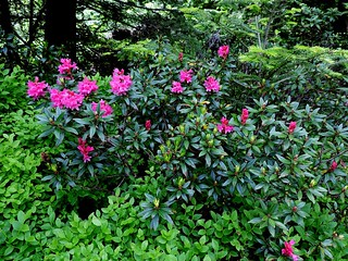 Rhododendron ferrugineum=Rhododendron ferrugineux