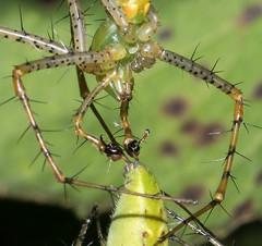 Peucetia viridans - Male palps with injectors prior to insertion