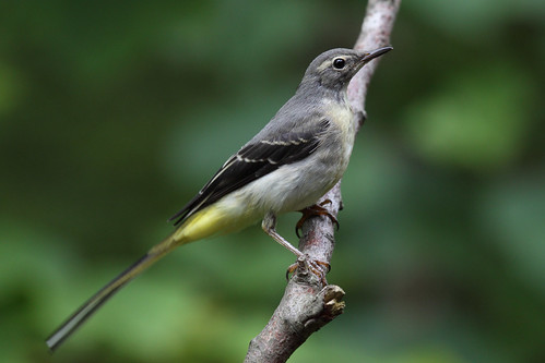 11 June. Grey Wagtail