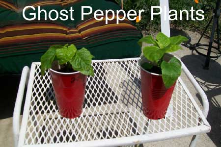 Ghost Pepper Plants