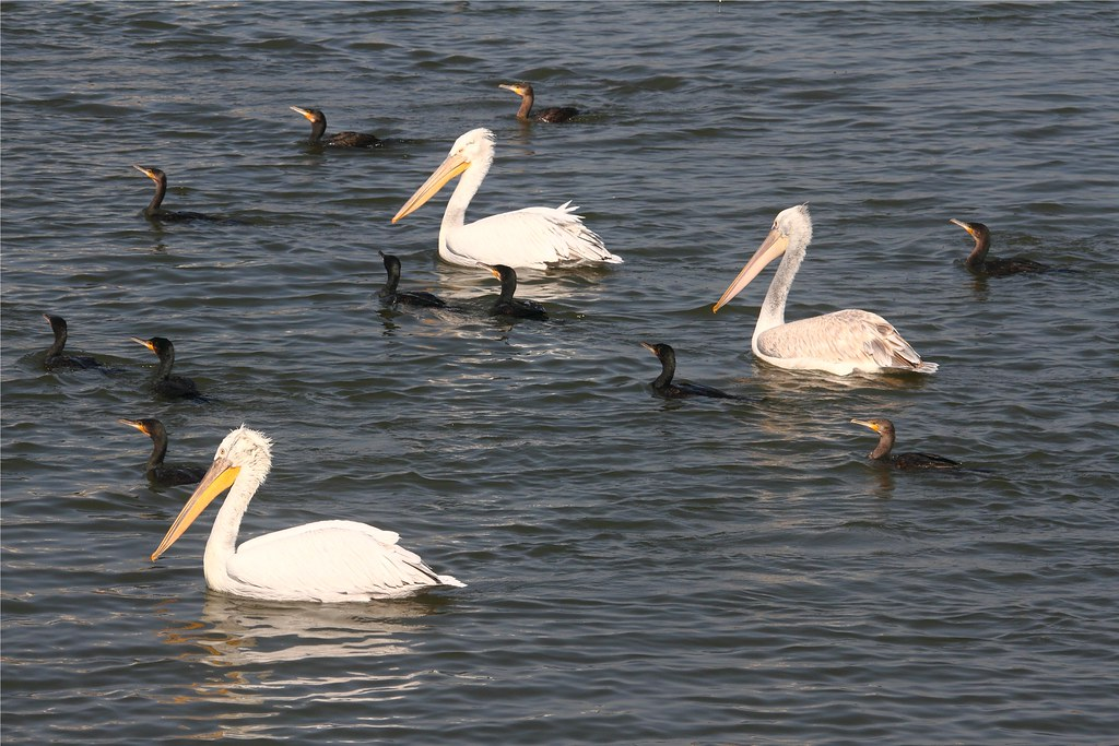 At Lakhota Lake - Dalmatians and Cormorants