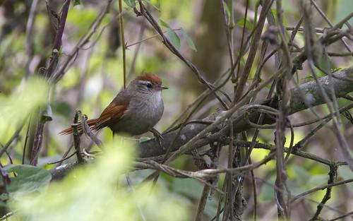 bird southamerica birds ecuador neotropical spinetail linecheekedspinetail cranioleucaantisiensis