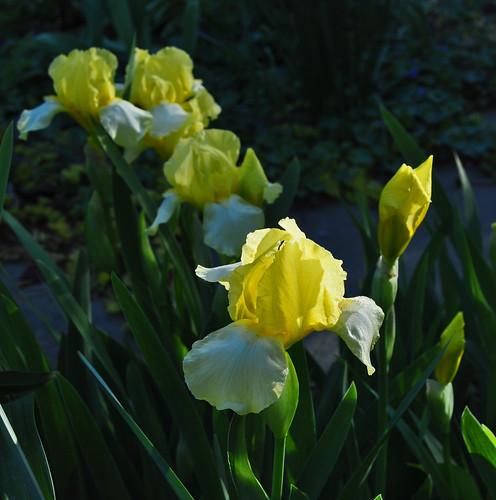 Iris germanica (2)