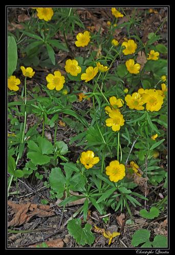 Renoncule à tête d'or (Ranunculus auricomus)