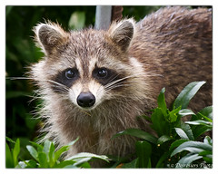 animal(1.0), raccoon(1.0), mammal(1.0), fauna(1.0), procyon(1.0), wildlife(1.0),