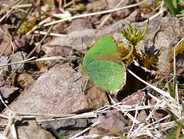 27024 - Green Hairstreak Butterfly, Isle of Mull
