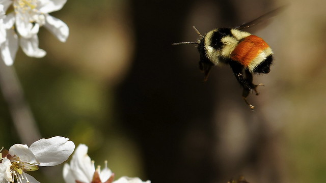 Incoming.  Tricolored bumble bee