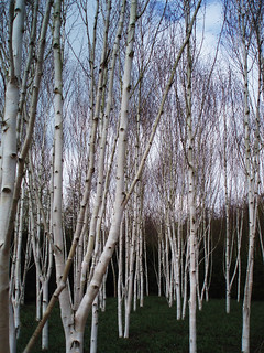 Birch grove at Anglesea Abbey