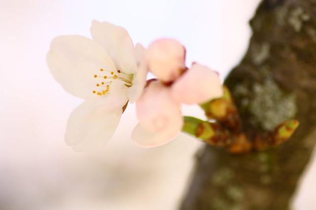 Sakura 2012-22