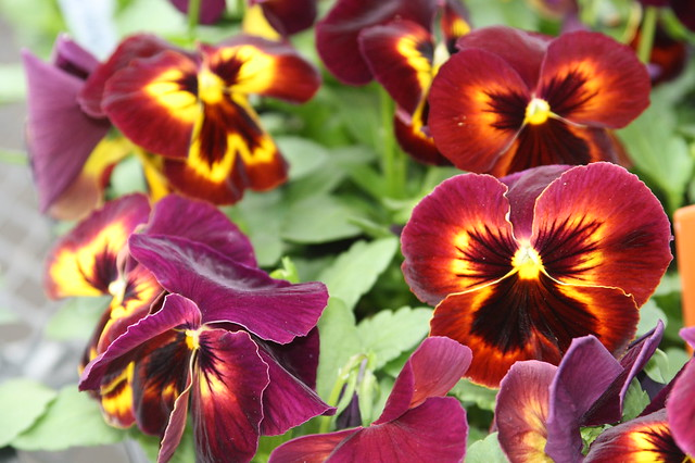 Pansy Spring Matrix Sangria | Flickr - Photo Sharing!