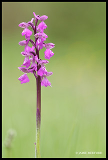 Green Winged Orchid (Anacamptis morio) flower spike
