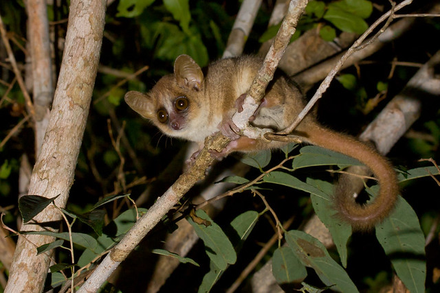Gray Mouse Lemur (Microcebus murinus), Kirindy Forest, Madagascar
