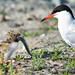 Visdief (Sterna hirundo) met jong-Common Tern (Sterna hirundo) with young by Bram Reinders