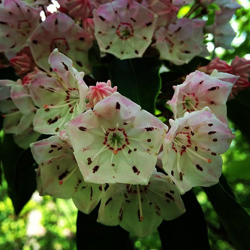 Mountain laurel on Bear Mountain