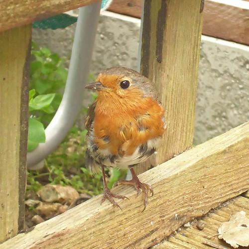 Robin......