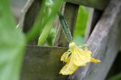 garden flowers  079