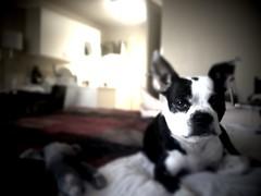 bulldog(0.0), animal(1.0), dog(1.0), pet(1.0), french bulldog(1.0), boston terrier(1.0), carnivoran(1.0),