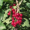 Mmmm, #red #currant #fruits
