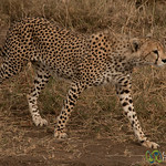 Cheetah Sighting in Serengeti - Tanzania