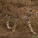 Cheetah Sighting in Serengeti - Tanzania