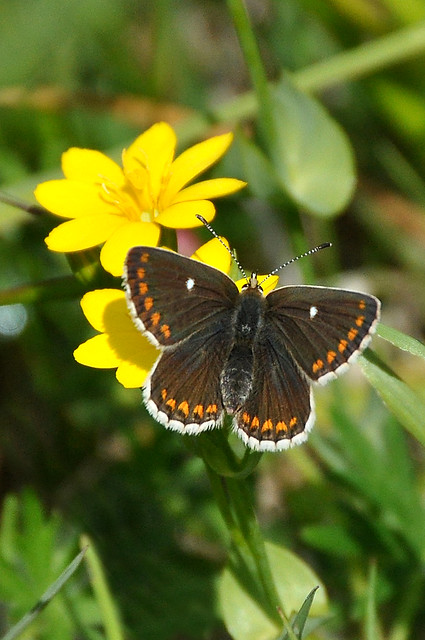 Female Northern Brown Argus (Aricia artaxerxes) perched on Yellow Wort (Blackstonia perfoliata)