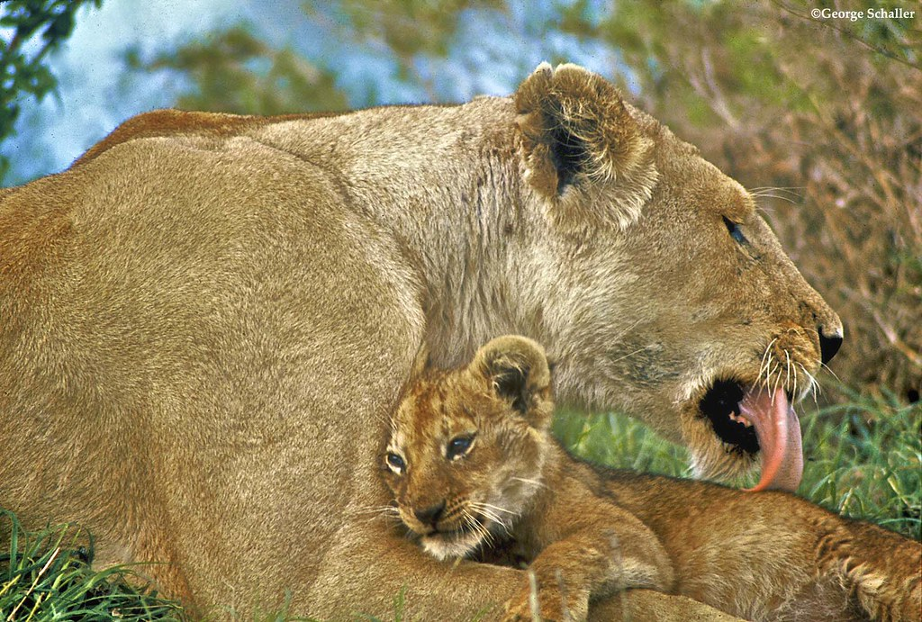 This photo was taken by Panthera Vice President Dr. George Schaller. Dr. Schaller is known as one of the founding fathers of the wildlife conservation field and led the world's seminal study on lion behavior in the Serengeti in the late 1960s.   An interview with Dr. Schaller is featured in Robert Vavra's latest book 'Remembering Africa'. 15% of proceeds from the sale of this book will be donated to Panthera when customers enter PANTHERA at checkout. Customers also receive a 10% discount using this code. Purchase the book at www.remembering-africa.com/  Learn more about Dr. Schaller's career at www.panthera.org/people/george-schaller-phd.  Purchase Dr. Schaller's book 'The Serengeti Lion: A Study of Predator Prey Relations' read about the culmination of Dr. George Schaller's seminal study on lion behavior, including the lion's social system, population dynamics, hunting behavior and predation patterns. www.amazon.com/Serengeti-Lion-Predator-Prey-Relations-Wil...  Learn more about Panthera at www.panthera.org.
