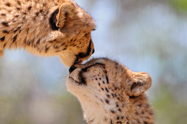 Tenderly licking cheetahs