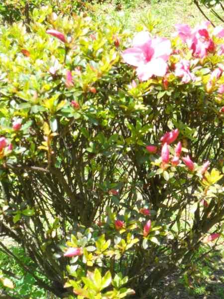 Rhododendron japonicum 'Favorite' v 2
