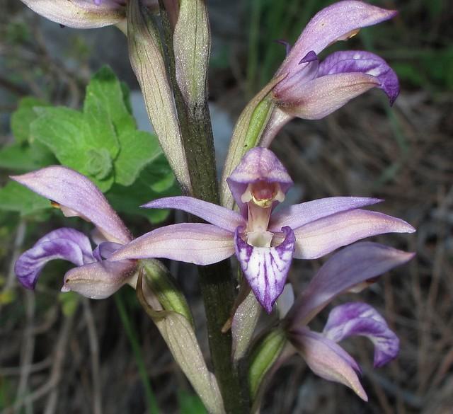 Limodorum abortivum - Violet Limodore