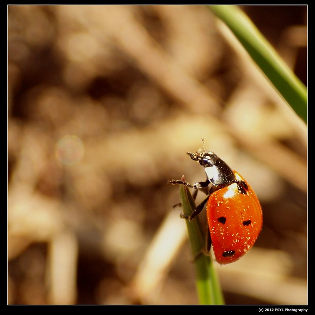 Seven-spotted ladybug (Coccinella septempunctata)