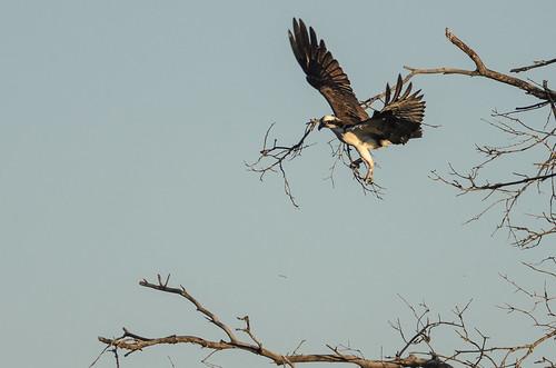 Osprey Stick Hunting-4115.jpg