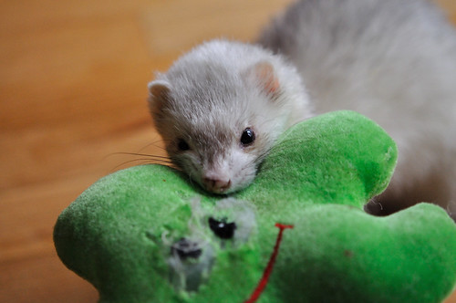 Chi's favourite toy: green starfish. 52 weeks of ferrets (15/52)
