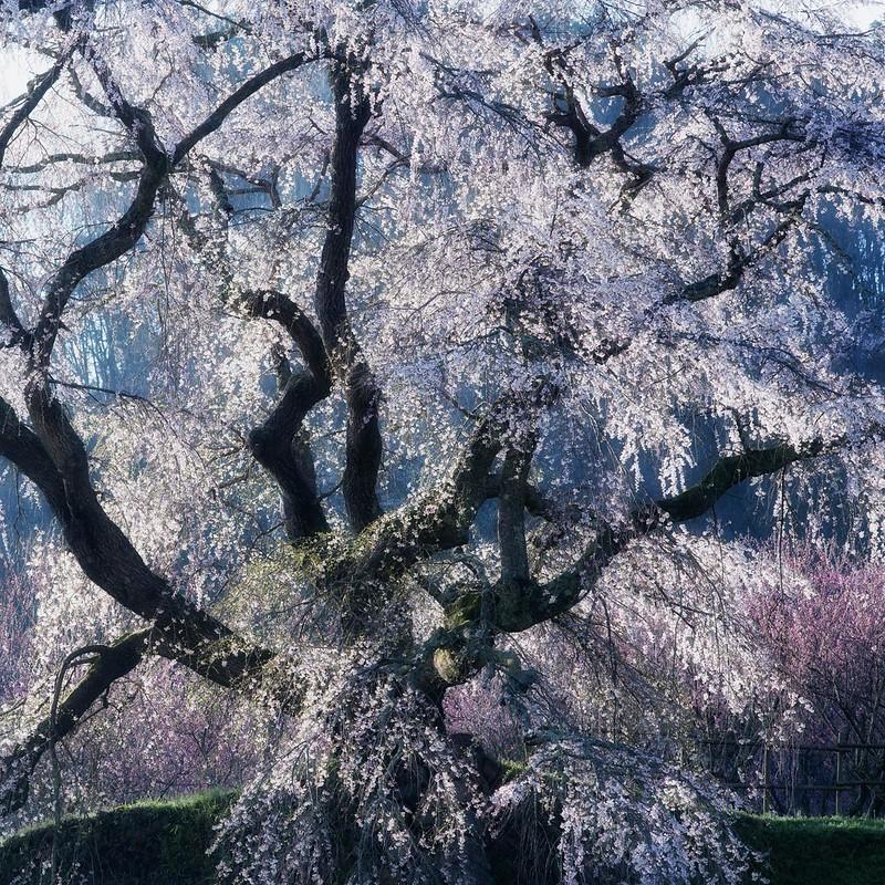 Cherry blossom Glow *