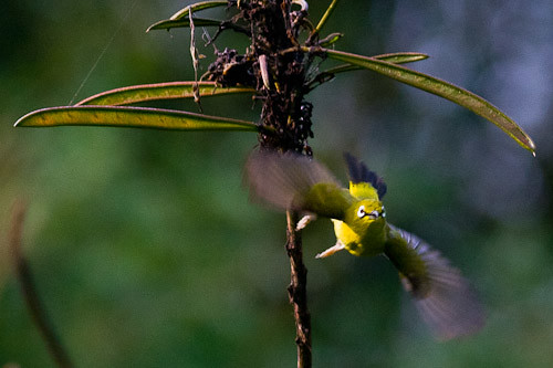 Javan White-eye