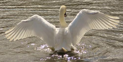Mute Swan.-Cygnus olor by Zooman2009