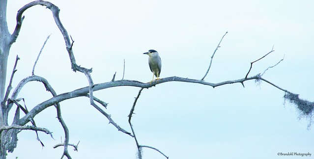 Night Heron @CBBR - IMG_9449 60D