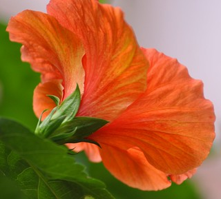 Deep Orange Hibiscus