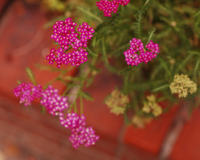 hot pink yarrow