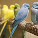 Indian Ringneck Parakeets @ Sydney Royal Easter Show by doughnu7