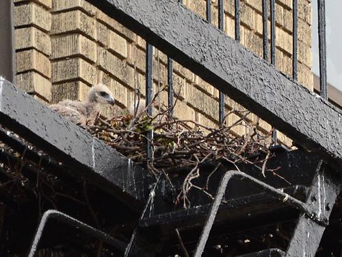 JHW Hawk Nest (9087)