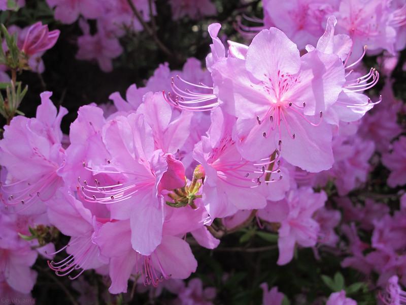 Sunny pink azaleas
